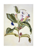 No.3055C Thorn Apple (Datura Wrightii) Giclee Print by Maria Sibylla Graff Merian