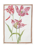 Pd.109-1973.F14 Three 'Broken' Tulips Giclee Print by Nicolas Robert