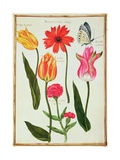 Pd.109-1973.F27 Tulips, Anemone, Lychnis and a Butterfly Giclee Print by Nicolas Robert