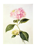 Pd.64-1975 Hydrangea Hortensia Giclee Print by Arnoldus Bloemers