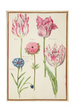 Pd.109-1973.F37 Three 'Broken' Tulips, Cornflower and Anemone Giclee Print by Nicolas Robert