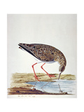 Curlew Sandpiper Giclee Print by Charles Collins