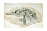 Young Ichthyosaurus from Lyme Regis Giclee Print by  English School