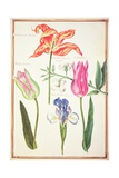 Pd.109-1973.F35 Flower Studies: Tulips and Blue Iris Giclee Print by Nicolas Robert