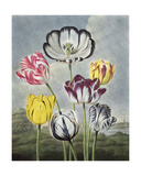 Tulips, Engraved by Earlom, from 'The Temple of Flora' by Thornton, 1807 Giclee Print by Philip Reinagle