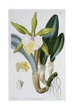 Orchid: Brassavola Glauca, Published by I. Ridgway, 1846 Giclee Print by Miss Drake