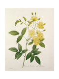 Rosa Banksiae (Banks's Rose), from 'Choix Des Plus Belles Fleurs', 1827 Giclee Print by Pierre Joseph Redoute