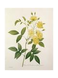 Rosa Banksiae (Banks's Rose), from 'Choix Des Plus Belles Fleurs', 1827 Giclee Print by Pierre-Joseph Redouté
