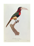 Azara Aracari, Engraved by Barriere Giclee Print by Jacques Barraband