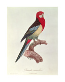 Omnicoloured Parakeet Giclee Print by Jacques Barraband