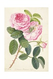 Common Provence Rose Giclee Print by Georg Dionysius Ehret