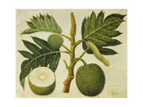 Bread Fruit, C.1769 Giclee Print by Sydney Parkinson