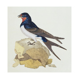 Swallow from 'The History of British Birds', 1799 Giclee Print by Edward Donovan