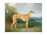 The Greyhound Bitch Lydia Giclee Print by Henry Barraud