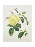 Rosa Indica, Engraved by Bessin, from 'Choix Des Plus Belles Fleurs', 1827 Giclee Print by Pierre Joseph Redoute