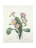 Primula (Primrose), Engraved by Bessin, from 'Choix Des Plus Belles Fleurs', 1827 Giclee Print by Pierre-Joseph Redouté