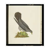 Cuckoo from 'The History of British Birds', 1799 Giclee Print by Edward Donovan