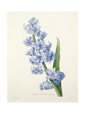 Hyacinthus Orientalis (Common Hyacinth), Engraved by Victor, from 'Choix Des Plus Belles Fleurs',… Giclee Print by Pierre-Joseph Redouté