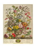 May, from 'twelve Months of Flowers' by Robert Furber (C.1674-1756) Engraved by Henry Fletcher Giclee Print by Pieter Casteels