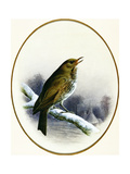 Song Thrush, 1884 Giclee Print by Harry Bright