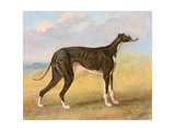 One of George Lane Fox's Winning Greyhounds: the Black and White Greyhound, Turk, also known as… Giclee Print by George Garrard