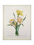 Narcissus Gouani (Double Daffodil), Engraved by Bessin, from 'Choix Des Plus Belles Fleurs', 1827 Giclee Print by Pierre-Joseph Redouté
