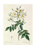 Rosa Moschata or Musk Rose Giclee Print by Pierre-Joseph Redouté