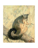 The Possum Giclee Print by Caroline Louisa Atkinson