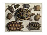 """Turtles: from Albert Seba's """"Locupletissimi Rerum Naturalium"""", C.1750 Giclee Print"""