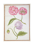 Peony and Double Poppy Giclee Print by Nicolas Robert