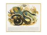 The Boa Constrictor, Educational Illustration Pub. by the Society for Promoting Christian… Giclee Print by Josiah Wood Whymper