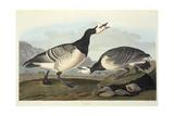 Barnacle Geese Giclee Print by John James Audubon