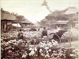 Iris Garden in Tokyo, C.1867-80 Photographic Print by Felice Beato