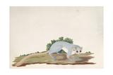 Mouse-Lemur (Microcebus Murinus), Madagascar, 1767 Giclee Print by Sydney Parkinson