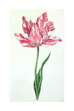 Tulip, C.1675 Giclee Print by Nicolas Robert