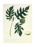 The Bread Fruit of Otahytey, 1792 Giclee Print by Captain George Tobin