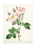 Rosa Damascena Variegata (York and Lancaster Rose), Engraved by Bessin, from 'Les Roses', 1817-24 Giclee Print by Pierre-Joseph Redouté