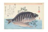 Shimadai and Ainame, from the Series 'The Large Fish', Utagawa School, C. 1840-42 Giclee Print by Ando Hiroshige