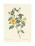 Rosa Eglanteria Luteola Giclee Print by Pierre Joseph Redoute