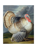Portrait of a Turkey Giclee Print by Johann Wenceslaus Peter Wenzal
