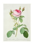 Rosa Muscosa Multiplex (Double Moss Rose), Engraved by Langlois, from 'Les Roses', 1817-24 Giclee Print by Pierre-Joseph Redouté