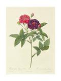 Rosa Gallica Purpurea Velutina, Parva Giclee Print by Pierre-Joseph Redouté