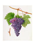 The Poonah Grape, 1820 Giclee Print by William Hooker