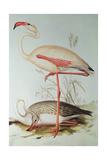 Flamingo. Giclée-Druck von Edward Lear