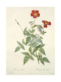 Rosa Indica, Engraved by Chapuy, from 'Les Roses', 1817-24 Giclee Print by Pierre-Joseph Redouté