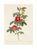 Rosa Cinnamomea Flore Simplici Giclee Print by Pierre-Joseph Redouté