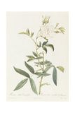 Rosa Alba Cimbaefolia Giclee Print by Pierre-Joseph Redouté