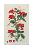 Sweet Pea: Lathyrus Odoratus (Kennedya Coccinea) from 'Flora Australasica', Published by J.… Giclee Print by Edwin Dalton Smith