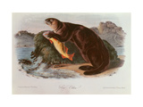 Sea Otter from Quadrupeds of North America (1842-5) Giclee Print by John James Audubon