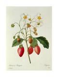 Fragaria (Strawberry), Engraved by Chapuis, from 'Choix Des Plus Belles Fleurs', 1827-33 Lámina giclée por Pierre-Joseph Redouté
